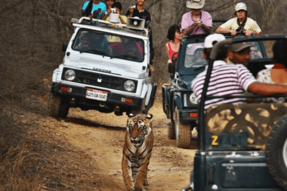 tourists photographing tigers