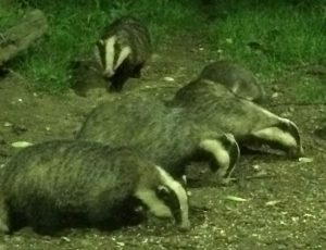 Badgers-at-Tewin-Orchard-Hertfordshire