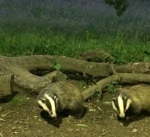 Two-Badgers-at-Tewin-Orchard-Hertfordshire