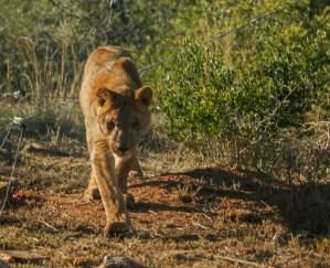King the lion at Shamwari