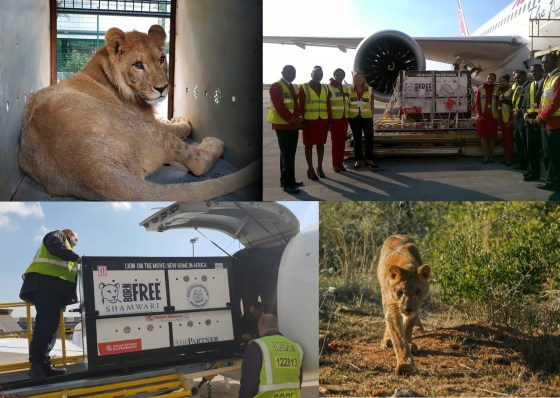 King the lion returns home to Africa