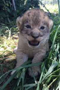 Claws Out 12 day old lion cub