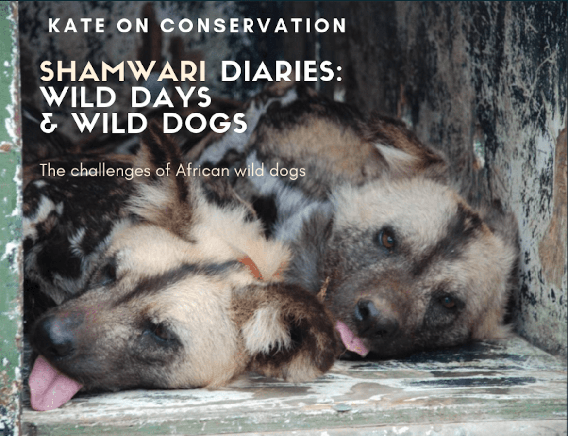 Shamwari Diaries: Act 1, Scene 3 – Wild days & wild dogs