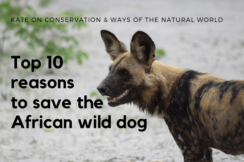 10 reasons to save the African wild dog