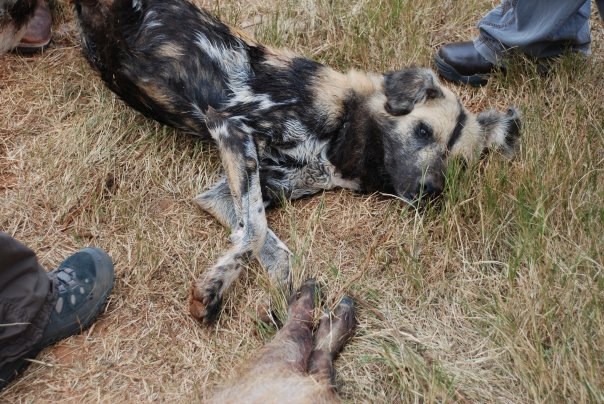 Shamwari-african-wild-dog-sedated-on-the-ground