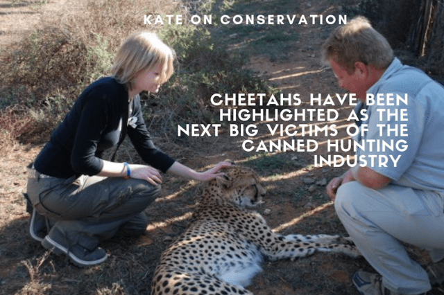 cheetahs-are-used-in-the-canned-hunting-industry