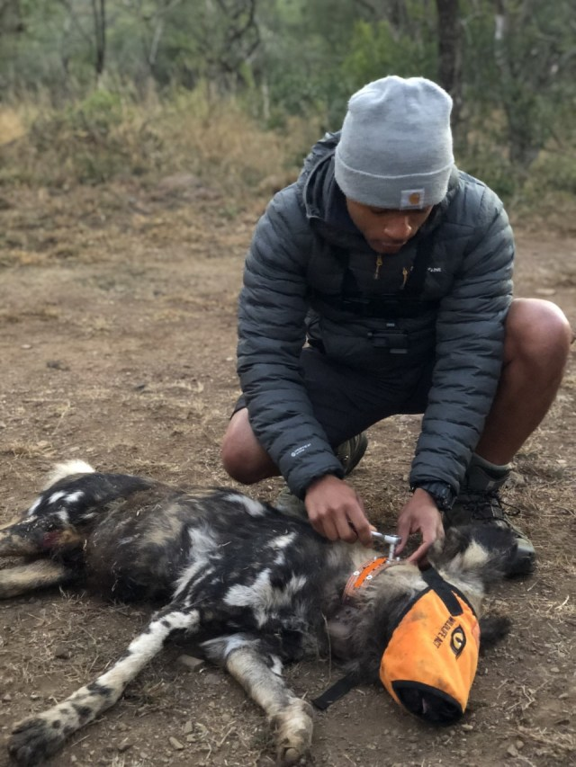 Tolga-collaring-a-male-African-Wild-Dog-in-Zululand-South-Africa-with-Wildlife_ACT