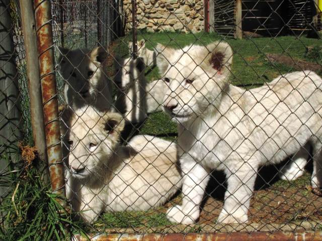 White lion cubs. Photo taken by Ian Michler, courtesy of Blood Lions