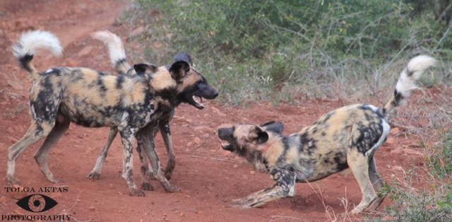 African-wild-dogs-playing-with-one-another-at-the-Somkhanda-Game-Reserve-in-South-Africa