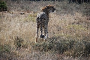 cheetah looks on near madolas lodge