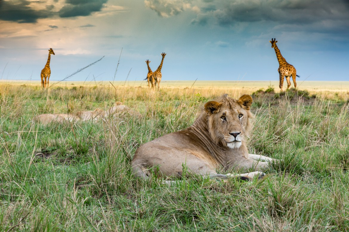Big Cat Tales: An unmissable television return of the Maasai Mara's big cats