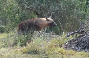 Shamwari game reserve Brown hyena