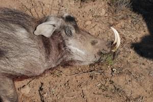 Deceased warthog found in a termite mound at Shamwari game reserve