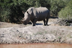 Underweight rhino at Bushman Sands