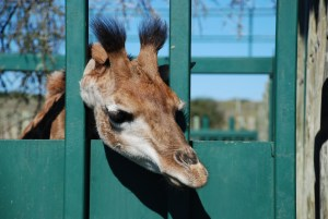 Shamwari diaries - Melvin the giraffe at the Shamwari breeding centre