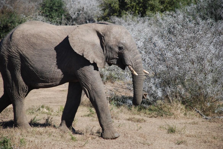 How Many Elephants?