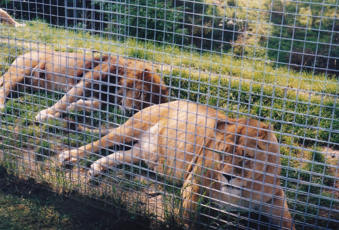 big-cats-in-captivity-lion-and-lioness-in-a-zoo