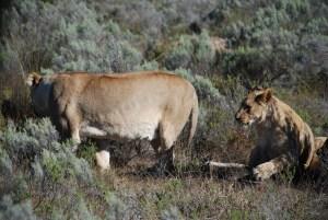 Lion-pride-at-Amakhala-Game-Reserve