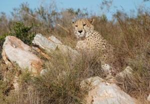 cheetah-at-shamwari-near-madolas