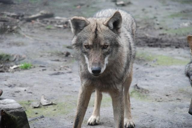 Wolf-at-Tsitsikamma-Sanctuary-South-Africa