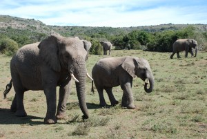 young-elephants-in-a-herd-at-shamwari
