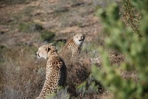 shamwari-cheetah-brothers