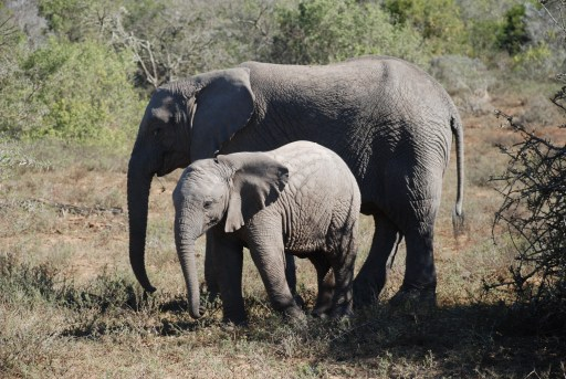 shamwari-game-drive-elephants