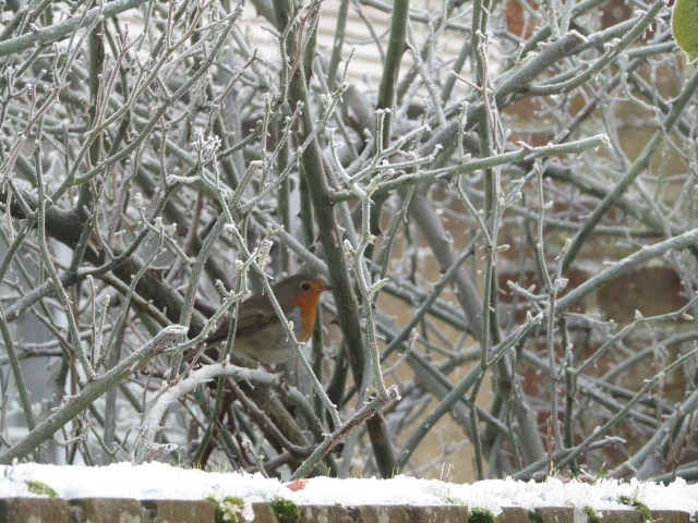 Robin outdoors in the snow in winter - Photo by Kate on Conservation