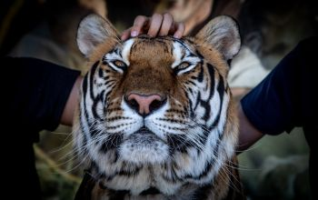 Tiger-Noa-being-stroked-by-a-tourist-at-Fauna-y-Acción-Park-Spain