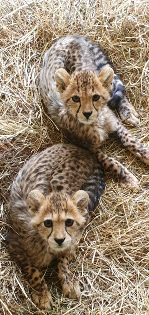 Two-Cheetah-Cubs-April-2020