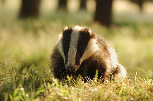 Badger Meles meles Portrait of an adult badger backlit by evening sunlight