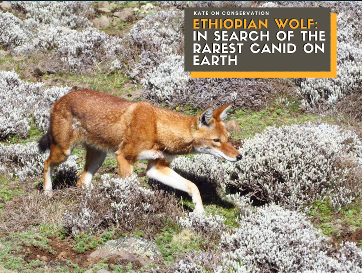 Ethiopian Wolf: In search of the rarest canid on Earth