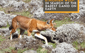 ethiopian wolf in mountains title card