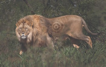 canned lion hunting Lion target photo by george logan