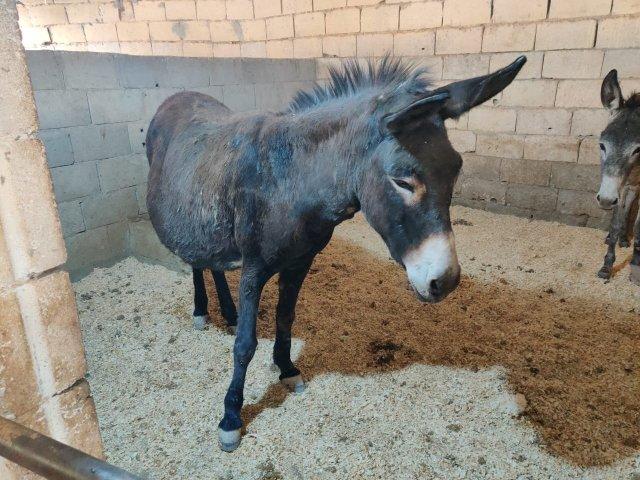 Rumi donkey mare