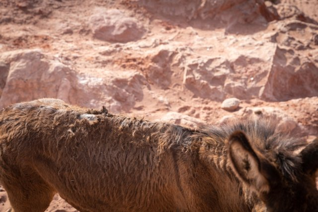 Wounded Donkey at Petra 2021