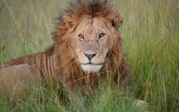 male lion rests in the grass in the maasai mara image by maata