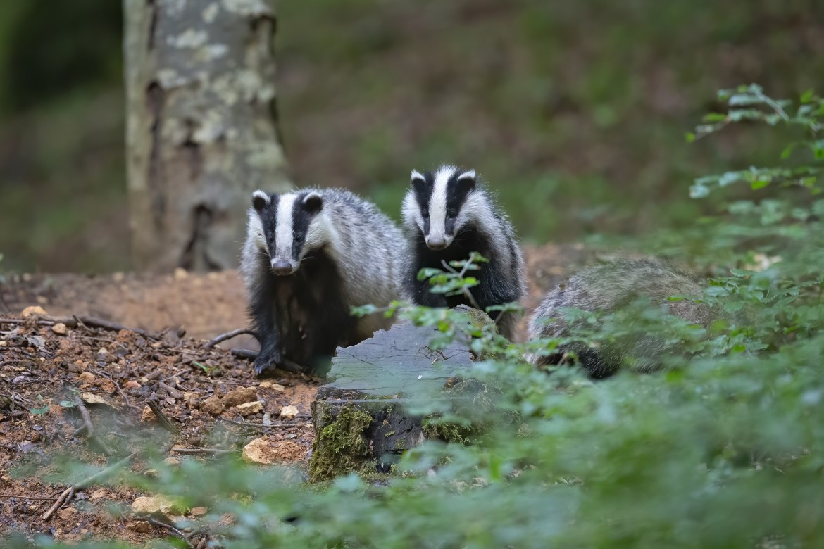 Thousands of badgers to be killed in 7 new areas despite government promise
