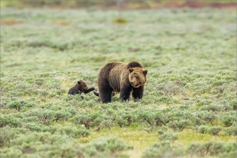 Grizzly and cubs