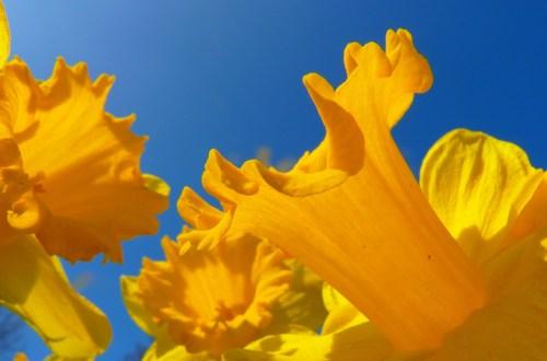 Marie Curie Daffodil Campaign