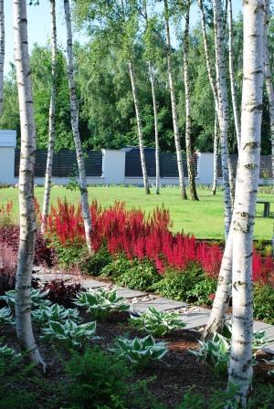 Kwiaty kwitnące na czerwono (tawułki) oraz inne rośliny wśród brzóz w ogrodzie założonym przez Kater pod Poznaniem.