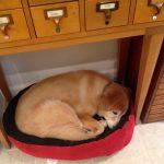 Tillie sleeping in KatersAcres polymer clay studio