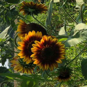 Variegated Sunflowers by Katie Oskin