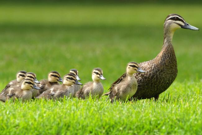 155947-ducks-on-the-go
