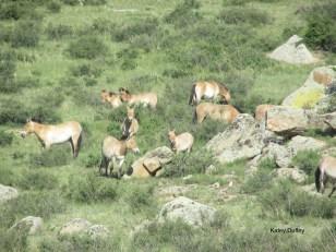 Takhi herd in Hustai National Park
