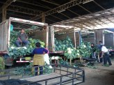 Hermelinda, cabbages