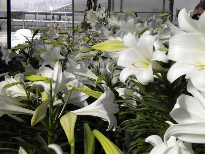 seasonal plants easter lily