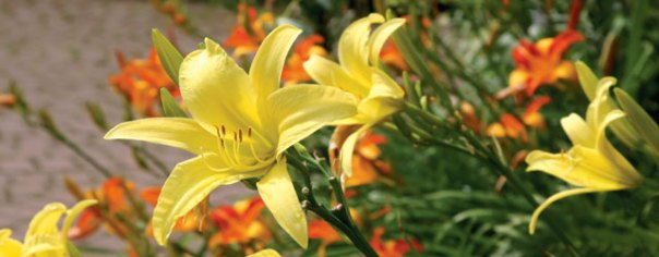 3 Tips for Growing Perennials