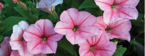 3 Tips for Growing Annuals