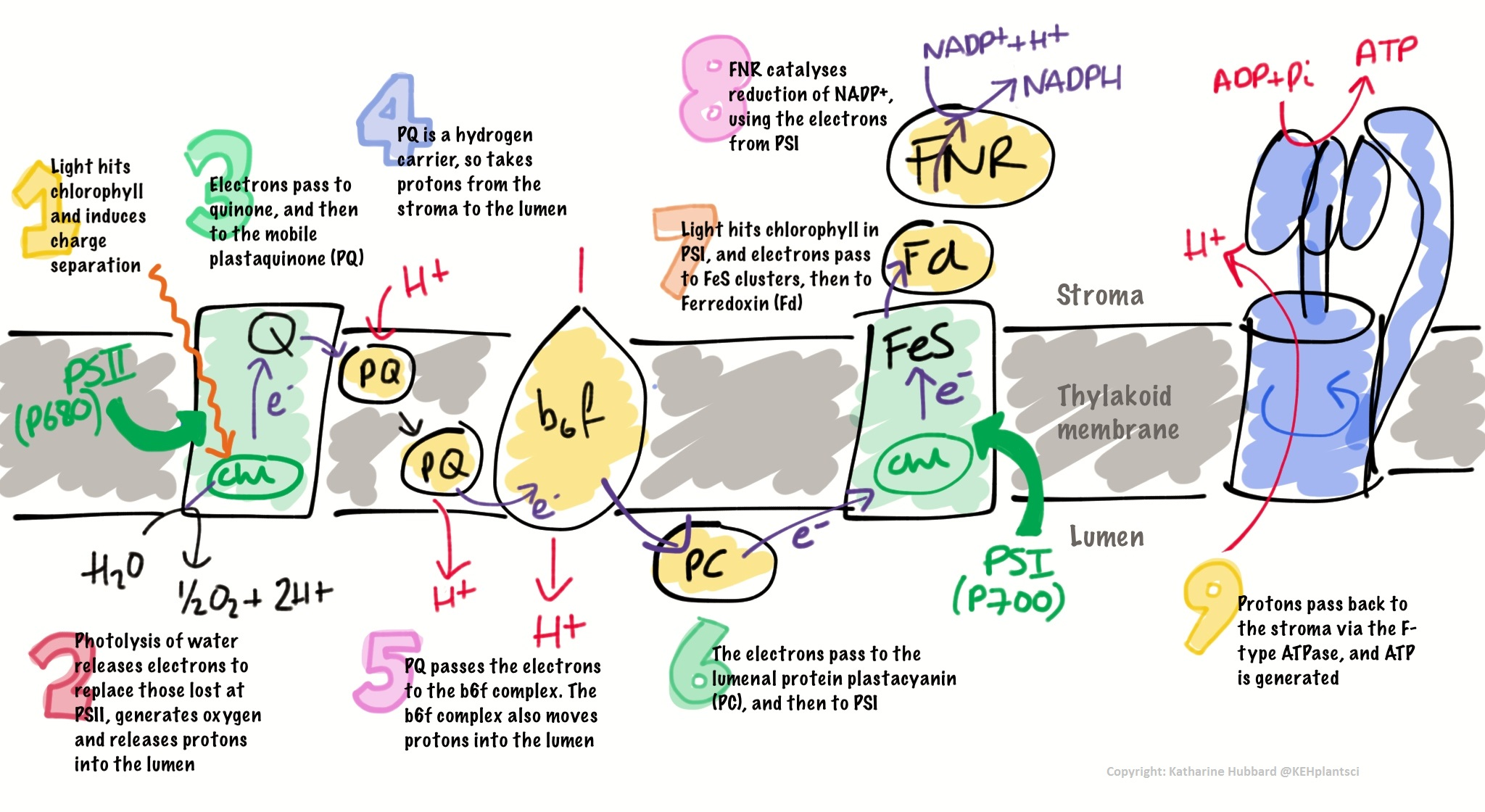 electron transport chain simple diagram 2016 toyota tundra jbl wiring cellular respiration mitochondria